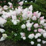 Hydrangea paniculata: la hortensia de sol