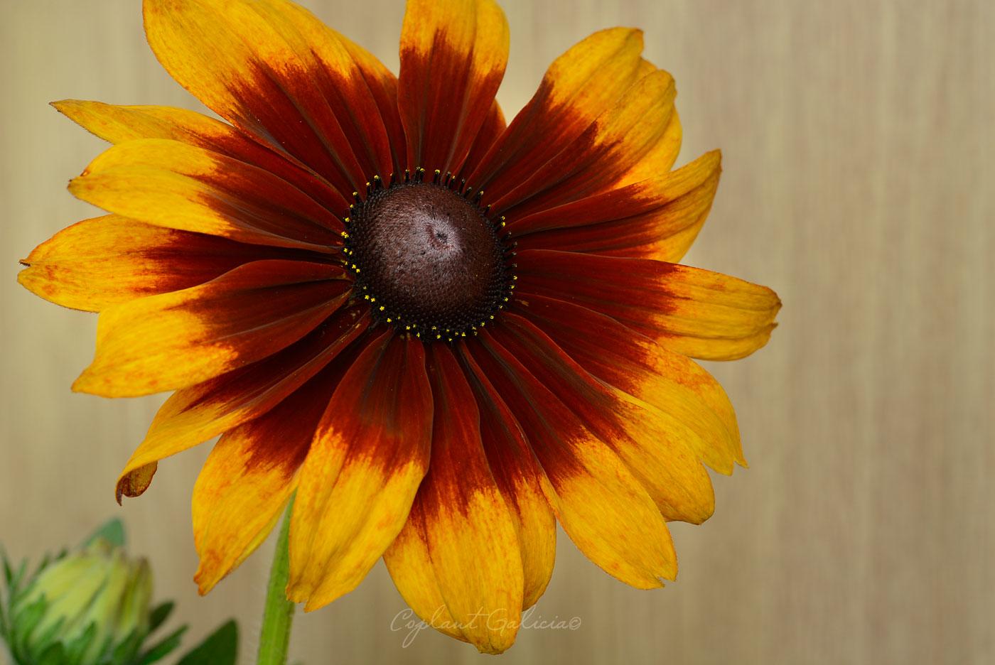 Llena de color el verano con nuestras Rudbeckias
