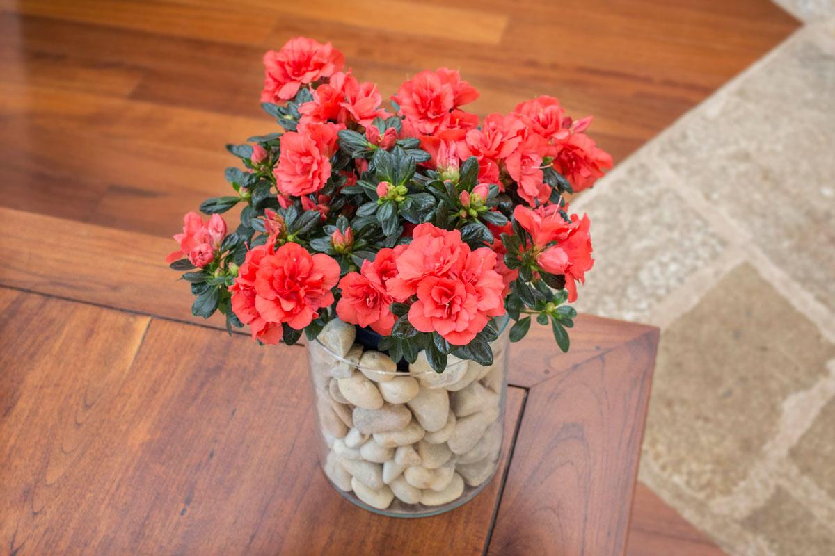 Llena de rojo tu Navidad con nuestras elegantes Azalea Hortinno de interior