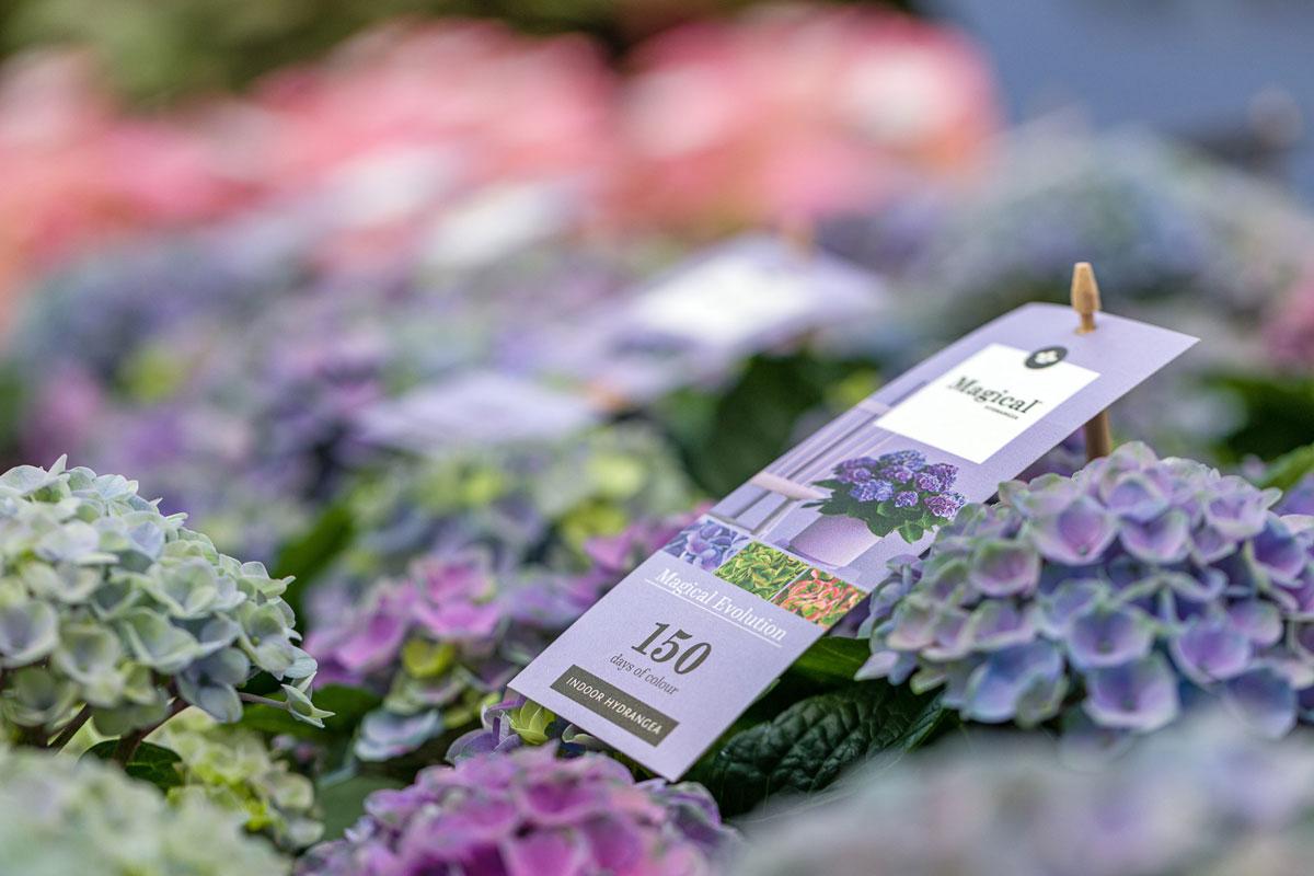 Llega la hortensia estrella: la Magical Four Seasons y su 150 días de floración