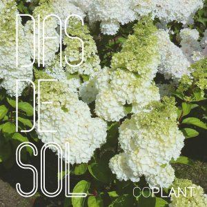 Nuestra Hydrangea Paniculata triunfa en los días de sol