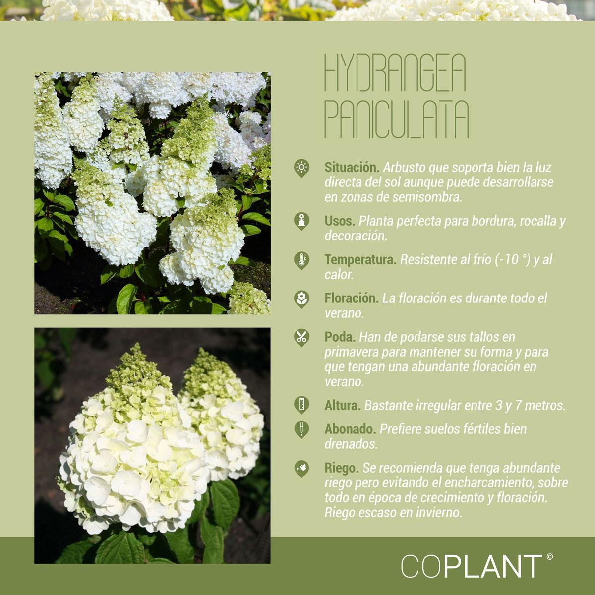 Días de sol - Hydrangea Paniculata