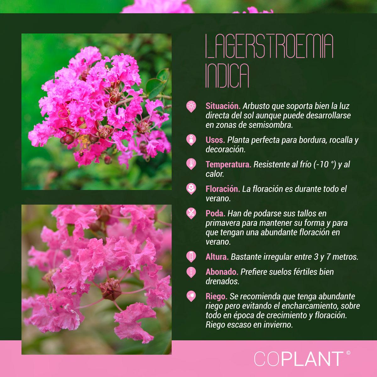 Lagerstroemia indica, una joya para el jardín