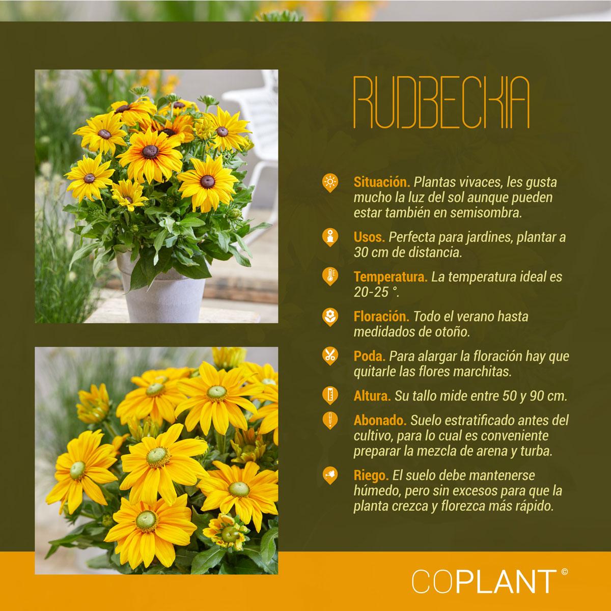 Rudbeckia, una planta de gran corazón