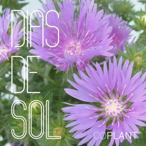 Déjate deslumbrar por los coloridos pétalos de nuestras Stokesia