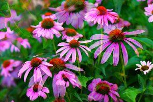 Echinaceas, una planta medicinal con una flor espectacular